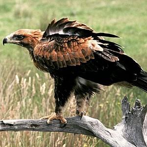 Eagle-lcg