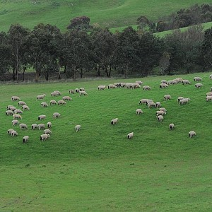 Sheep-lcg